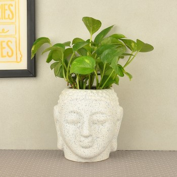 Money Plant in buddha head shaped vase