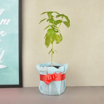 Tulsi plant in a vase wrapped in blue paper packaging with red bow(kitchen herb)