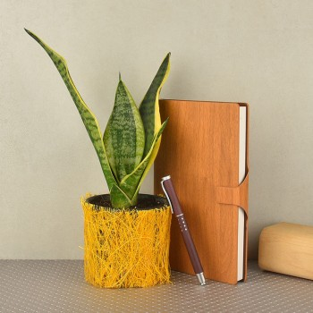 Sansevieria plant in a vase wrapped with yellow jute with Gift set of brown wooden textured diary with a pen(ruled sheet inside)(5x8.5 inches)