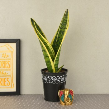 Sansevieria plant in a black vase with Metal Ganesha