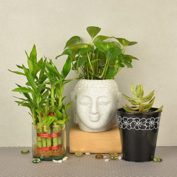 2 layer lucky bamboo in glass vase with Money Plant in buddha head shaped vase ( Height of the Pot: 4 inches) and Secculent Plant in black vase
