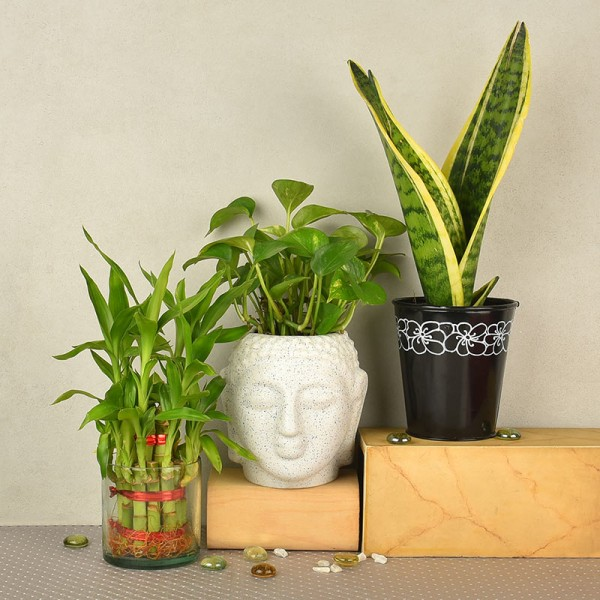 2 layer lucky bamboo in glass vase with Money Plant in buddha head shaped vase (Height of the Pot: 4 inches) and Sansevieria Plant in a black vase