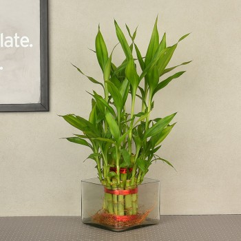 2 layer lucky bamboo in square glass vase