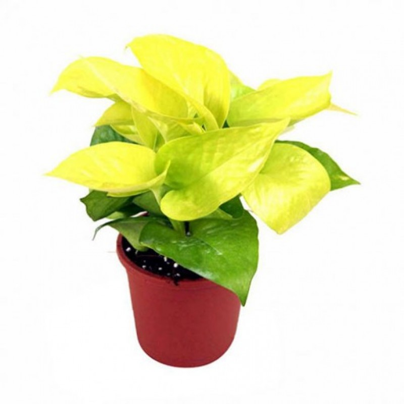 Golden Pothos Indoor Plant