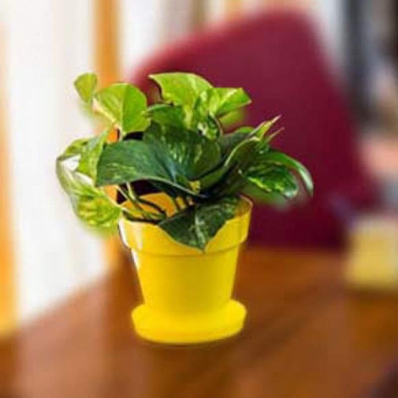 Money Plant in Yellow Colorista Pot