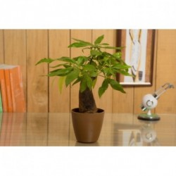 Money Tree Single Indoor Plant in Brown Pot