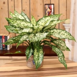 Indoor Plant  Green Aglonema