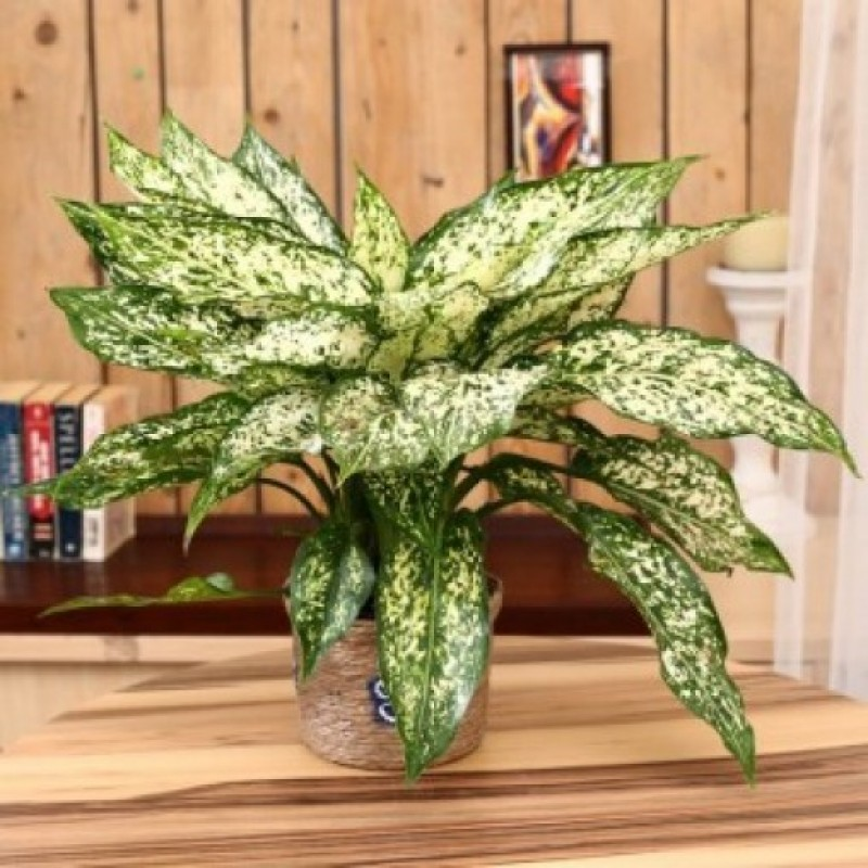 Indoor plant green aglonema myflowertree for Indoor green plants images