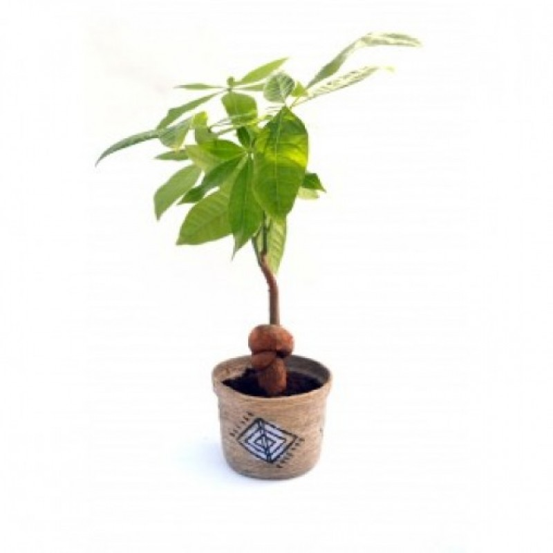 Money Tree Knotted Indoor Plant