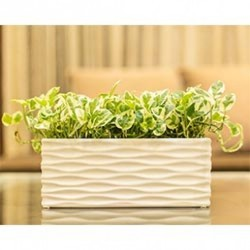 Green White Pothos in White Rectangular Glossy Ceramic Pot