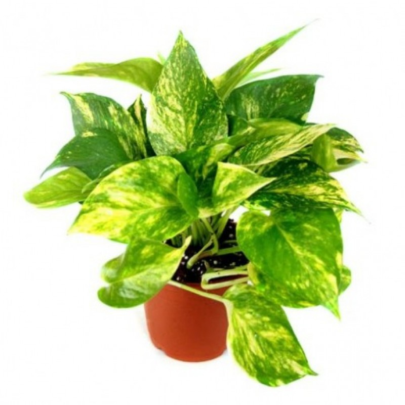 Money Plant Hybrid Indoor Plant