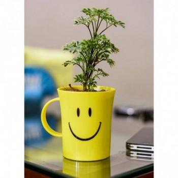 Aralia Variegated in Smiley Cup
