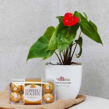 One Laceleaf Plant (Anthurium Plant) in White Plastic Pot with 16 pcs Ferrero Rocher Chocolate