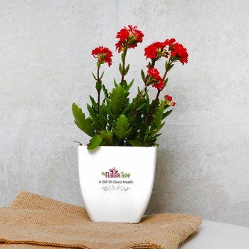 One Red Kalanchoe Plant in White Plastic Pot