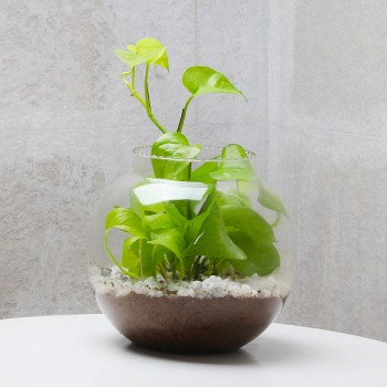 One Money Plant Terrarium in a Glass Vase