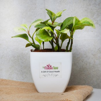 One Peperomia Plant in White Plastic Pot
