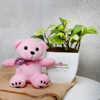 One Peperomia Plant in White Plastic Pot with Teddy Bear 6 inches