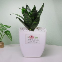 One Sanseveria (Snake) Plant in a White Plastic Pot