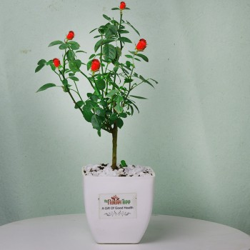 One Rose Plant in a White Plastic Pot