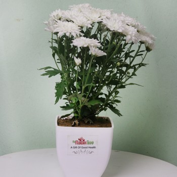 One Daisy Plant in White Plastic Pot