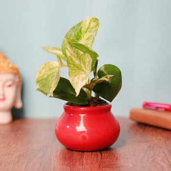 One White Pothos Plant in Red Round Pot