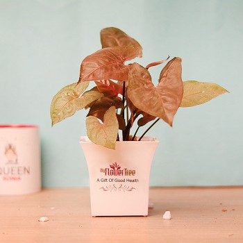 One Red Syngonium in White Plastic Pot