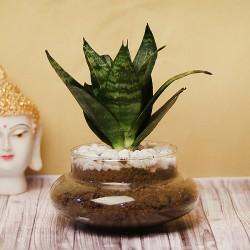 Snake Terrariuim Plant