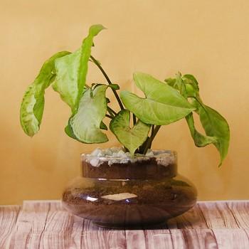 White Syngonium Terrarium Plant