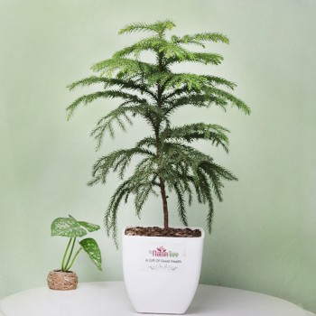 One Araucaria Christmas Tree Plant in White Plastic Pot