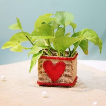One Money Plant in Designer Pot Wrapped with Jute and a small heart design on it