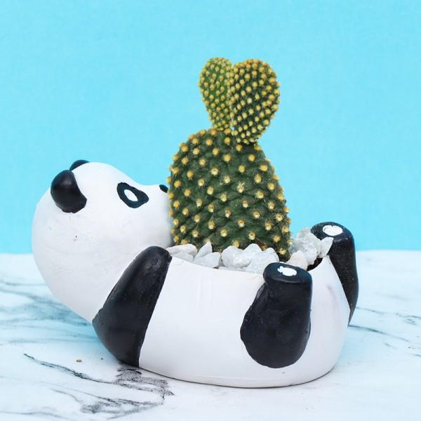 Bunny Ear Cactus Plant