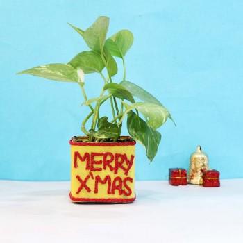 Plants for Christmas