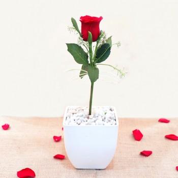 Potted Rose Flower