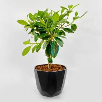 Ficus Plant with Black Pot