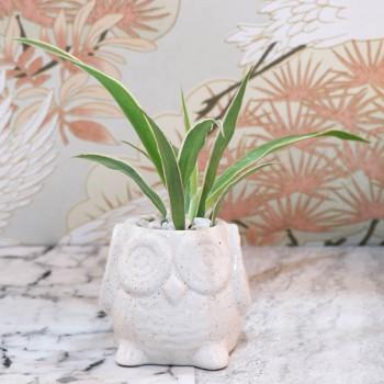 Spider Plant in Pot