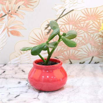 Crasulla Ovata Plant