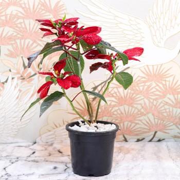 Poinsettia Plant in Plastic Pot