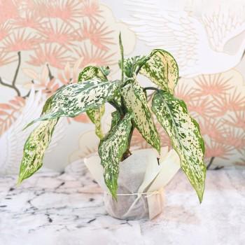 Aglaonema Plant in Plastic Pot