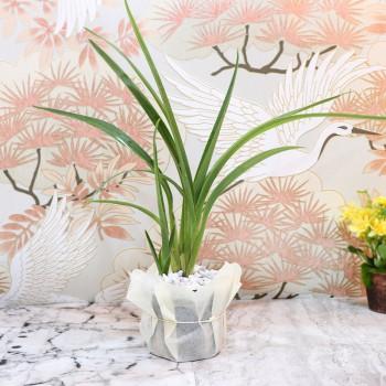 Chlorophytum Plant