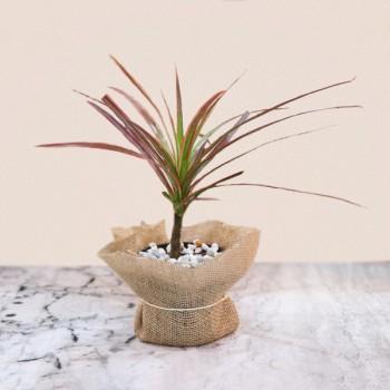 Red Dracena Plant