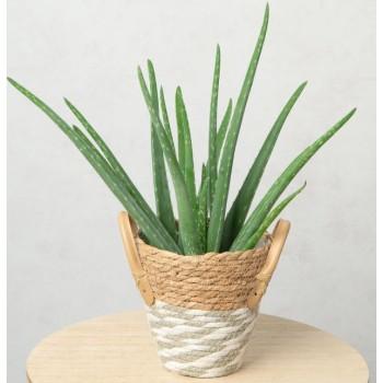 Aloe Vera Gift