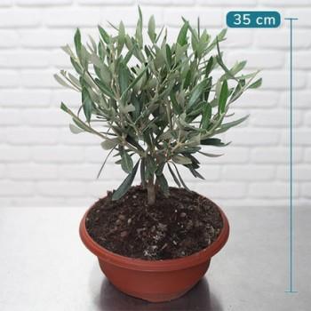 Potted Mini Olive Tree