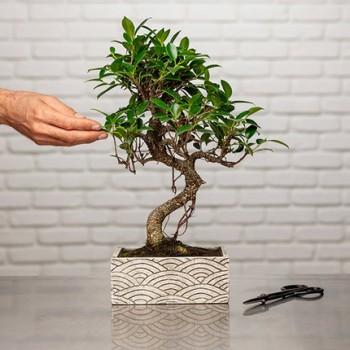 Zen Chic Bonsai