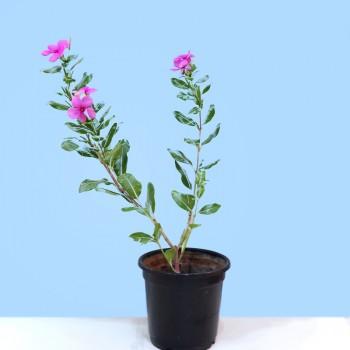 Sada Bahar Plant in Plastic Pot