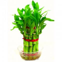 2 Layer Lucky Bamboo